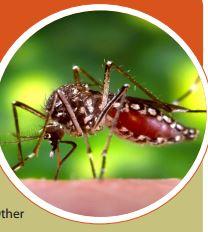 Chikungunya mosquito virus carrier
