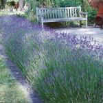 Lavender mosquito repellent